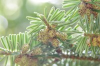 Abies pectinata (λευκή πεύκη) 50 ml