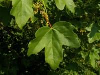 Acer campestris (σφένδαμος) 50 ml