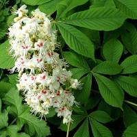 Aesculus ippocastanum (ιπποκαστανιά) 50 ml