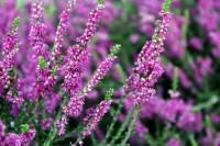 Calluna vulgaris (άγριο ρείκι ή καλούνα) 50 ml