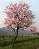 Prunus amygdalus (αμυγδαλιά) 50 ml