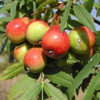 Sorbus domestica (σουρβιά) 50 ml
