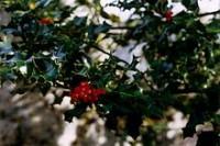 Ilex aquifolium (ίλεξ ο οξύφυλλος) 50 ml